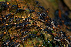Army ant (Eciton sp) migrating carrying larvae, South America - Martin Dohrn