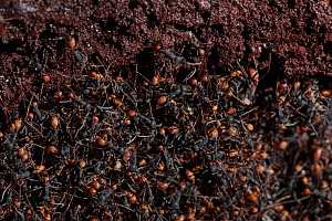 Army ant (Eciton sp.) forming a bivouac or temporary nest, South America - Martin Dohrn