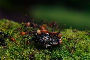 Army ants (Eciton sp) with prey, South America - Martin Dohrn
