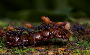 Team of army ants (Eciton sp.) carrying prey - Martin Dohrn