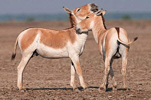 Khur / Asiatic wild ass (Equus hemionus) two nuzzling each other, Little Rann of Kutch, Gujarat, India - Bernard Castelein