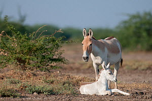 Khur  / Asiatic wild ass (Equus hemionus) with very pale foal, Little Rann of Kutch, Gujarat, India - Bernard Castelein