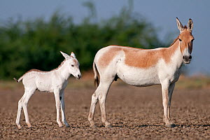 Khur  / Asiatic wild ass (Equus hemionus) with foal, Little Rann of Kutch, Gujarat, India - Bernard Castelein