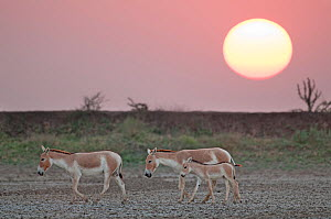 Khur  / Asiatic wild ass (Equus hemionus) with foal, walking at sunset, Little Rann of Kutch, Gujarat, India - Bernard Castelein