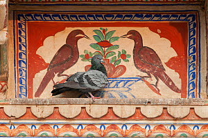 Rock dove (Columba livia), sitting in front of typical wall paintings of Shekhawathi region, Shekhawathi, Rajasthan, India  -  Bernard Castelein