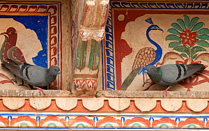 Rock doves (Columba livia), sitting in front of typical wall paintings of Shekhawathi region, Shekhawathi, Rajasthan, India  -  Bernard Castelein