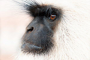 Southern plains grey langur ( Semnopithecus entellus / Presbytis entellus) close up face profile, Sawai Modhopur, Rajasthan, India - Bernard Castelein
