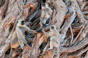 Southern plains grey langur ( Semnopithecus entellus / Presbytis entellus) group sitting in Banyan tree, Sawai Modhopur, Rajasthan India - Bernard Castelein