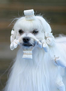 Maltese dog, male with hair in curlers  -  Yves Lanceau