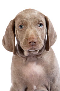 Domestic dog, Weimaraner, puppy, studio portrait  -  Yves Lanceau