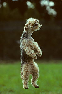 Domestic dog, Welsh Terrier leaping into the air, France - Yves Lanceau