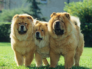 Domestic dog, Chow Chow, three on grass, France  -  Yves Lanceau