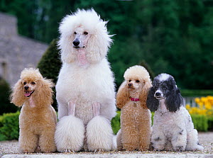 Domestic dog, one Standard Poodle (with fur clipped) and three miniature Poodles sitting in a row, France - Yves Lanceau