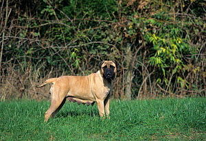 Domestic dog, Bullmastiff, female, fawn colour, standing portrait in garden, France - Yves Lanceau