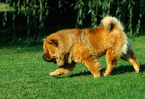Domestic dog, Chow Chow, trotting over grass, France  -  Yves Lanceau