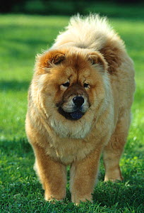 Domestic dog, Chow Chow, portrait on grass, France  -  Yves Lanceau