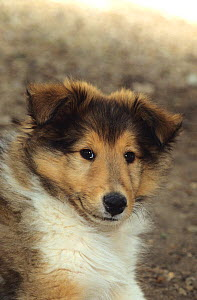 Domestic dog, Rough coated Collie / Scottish Collie, puppy - Yves Lanceau