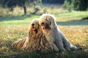Domestic dog, Hungarian Sheepdog / Komondor, female and puppy, France - Yves Lanceau
