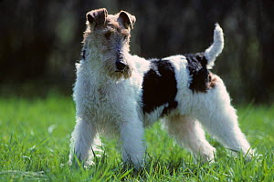Domestic dog, Wire haired Fox Terrier, standing portrait, France  -  Yves Lanceau
