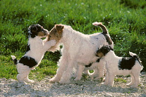 Domestic dog, Wire haired Fox Terrier, female playing with puppies in garden, France  -  Yves Lanceau