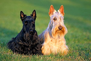 Domestic dog, Scottish Terrier / Aberdeen Terrier, one black, one white, on grass, France  -  Yves Lanceau
