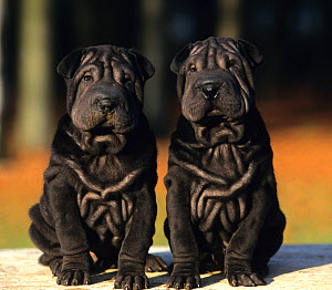 Domestic dog, Shar Pei / Chinese fighting dog, two black puppies  -  Yves Lanceau
