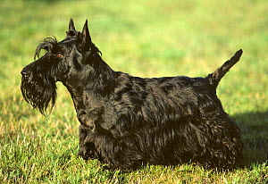 Domestic dog, Scottish Terrier / Aberdeen Terrier,  black on grass, France  -  Yves Lanceau