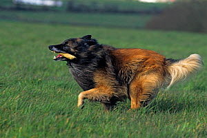 Domestic dog, Belgian Shepherd dog / Belgian Sheepdog / Tervueren, running with stick in mouth, France - Yves Lanceau