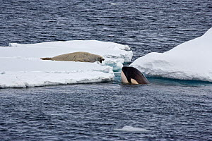 Killer Whale (Orcinus orca) spy-hopping to observe a Crabeater Seal (Lobodon carcinophagus); the whales are in search of Weddell Seals. Marguerite Bay, Antarctic Peninsula, summer. Freeze Frame book p...  -  Doug Allan
