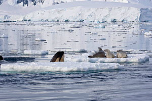 Killer Whale (Orcinus orca) spy-hopping to observe Crabeater Seals (Leptonychotes weddelli); the whales are in search of Weddell Seals. Marguerite Bay, Antarctic Peninsula, summer. Freeze Frame book p...  -  Doug Allan