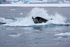Weddell Seal (Leptonychotes weddellii) being thrown off ice by wave created by Killer Whales (Orcinus orca) using co-operative hunting strategy. Marguerite Bay, Antarctic Peninsula, summer. Freeze Fra...  -  Doug Allan