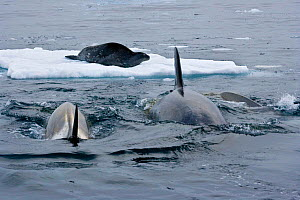 Killer Whales (Orcinus orca) approaching Weddell Seal (Leptonychotes weddellii) in preparation to knock it from the ice by creating a wave. Marguerite Bay, Antarctic Peninsula, summer. Freeze Frame bo... - Doug Allan