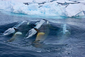 Killer Whales (Orcinus orca) create bow wave to knock Weddell Seal (Leptonychotes weddellii) from the ice; a co-operative hunting strategy. Marguerite Bay, Antarctic Peninsula, summer. Freeze Frame bo... - Doug Allan