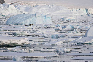 Killer Whale (Orcinus orca), member of a pod searching for Weddell Seals (Leptonychotes weddellii) among sea ice. Marguerite Bay, Antarctic Peninsula, summer. Freeze Frame book plate page 118-119.  -  Doug Allan