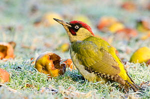 Green Woodpecker (Picus viridis) male among wind-fallen apples. Hertfordshire, England, UK, February. - Andy Sands