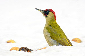 Green Woodpecker (Picus viridis) male looking alert among fallen apples in snow. Hertfordshire, England, UK, February.  -  Andy Sands
