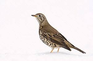 Mistle Thrush (Turdus viscivorus) in snow. Hertfordshire, England, UK, February.  -  Andy Sands