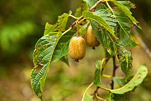 Foodplant with fruit, a climber vine (Actinidia sp) of Red panda (Ailurus fulgens) - Dr. Axel Gebauer