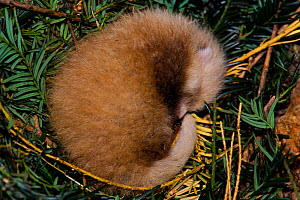 Red panda (Ailurus fulgens), cub 4 days old in breeding den, captive - Dr. Axel Gebauer