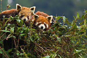 Red panda (Ailurus fulgens), pair resting in tree during monsoon season, Gangtok, Sikkim, India, captive  -  Dr. Axel Gebauer