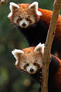 Red panda (Ailurus fulgens), two young cubs, captive - Dr. Axel Gebauer