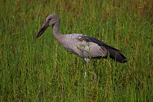 Asian openbill stork (Anastomus oscitans), Assam, India  -  Dr. Axel Gebauer