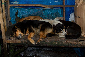 Stray domestic dogs sleeping in empty sales stall, Darjeeling, West Bengal, India  -  Dr. Axel Gebauer