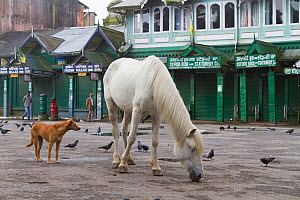 Morning scene with lone horse feeding on grain amongst pigeons and stray dog, Darjeeling, West Bengal, India 2010  -  Dr. Axel Gebauer
