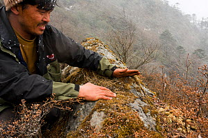 A Tibetan herder and member of Red Panda Network Nepal showing Red panda (Ailurus fulgens) dropping place, latrine on a rock in the Kangchendzonga Landscape of  mixed fir and rhododendron forest at 4,... - Dr. Axel Gebauer