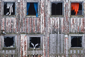Black-legged kittiwakes (Rissa tridactyla) on an old building including one landing, Finnmark, Norway, April - Roy Mangersnes