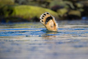 Polar bear (Ursus maritimus) foot sticking out of water while diving for food, Spitsbergen, Svalbard, Norway, August - Roy Mangersnes