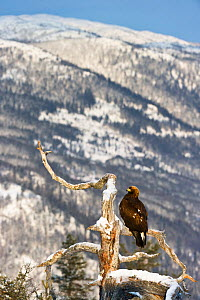 Golden eagle (Aquila chrysaetos) perched on a dead pine tree, Southern Norway, December - Roy Mangersnes