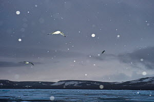 Black-legged kittiwakes (Rissa tridactyla) in flight during evening snowfall, Northern Nordaustlandet, Svalbard, Norway, August - Roy Mangersnes