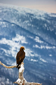Golden eagle (Aquila chrysaetos) perched on dead pine tree, Southern Norway, December  -  Roy Mangersnes
